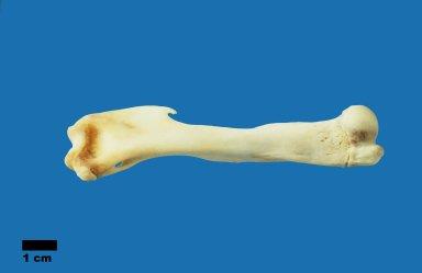 Macropus rufogriseus (Bennett's wallaby)