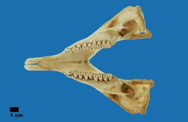 Vombatus ursinus (Wombat)