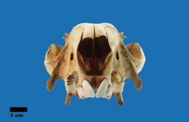 Macropus giganteus (Eastern Grey Kangaroo)