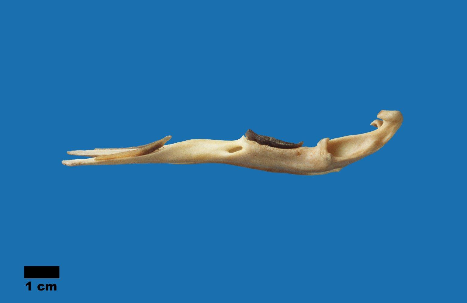 Ornithorhynchus anatinus (Platypus)