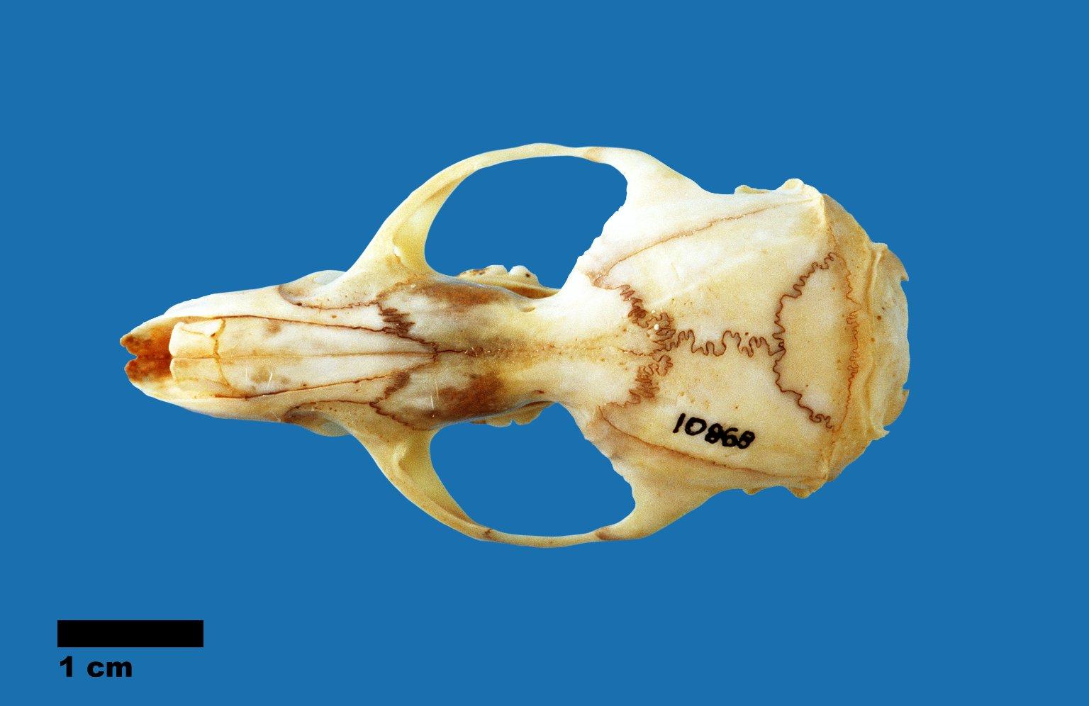 Hydromys chrysogaster (Water rat)